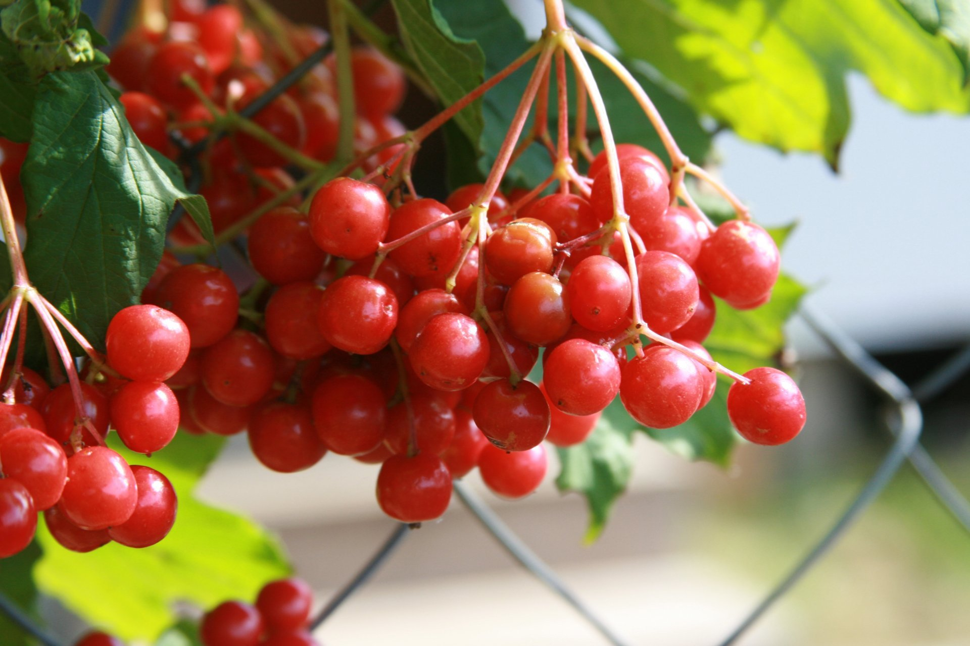 background-wallpaper-close-up-nature-kalina-plant-berries-village-autumn-red